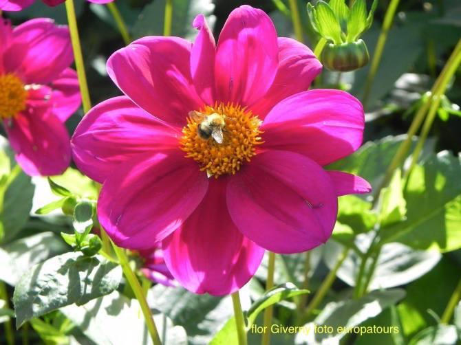 Giverny flor com abelha