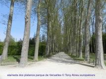 75204 platanos Versailles - 1